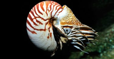 Nautilus - oldest animals